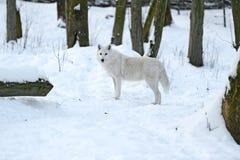 Πολικός λύκος Στοκ φωτογραφίες με δικαίωμα ελεύθερης χρήσης