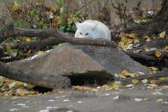 Πολικός λύκος Στοκ Εικόνες