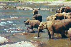 Πολλοί ελέφαντες που λούζουν στον ποταμό Στοκ εικόνα με δικαίωμα ελεύθερης χρήσης
