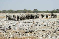 Πολλοί ελέφαντες στο εθνικό πάρκο Etosha, Ναμίμπια Στοκ Εικόνα