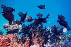 Πολλοί ινδικό anglefish Στοκ Φωτογραφία