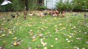 Πολλοί κοτόπουλα και κόκκορες στο ναυπηγείο Πουλιά υπαίθρια φιλμ μικρού μήκους