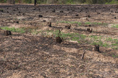 Πολλοί κωπηλατούν τα παλαιά κολοβώματα δέντρων που προκαλούνται από την αποδάσωση και το έγκαυμα στοκ φωτογραφίες