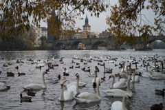 Πολλοί κύκνοι στον ποταμό της Πράγας Στοκ Φωτογραφίες