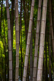 Πολλοί μίσχοι μπαμπού, δέντρα μπαμπού, κάθετα Στοκ εικόνα με δικαίωμα ελεύθερης χρήσης