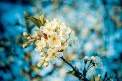 Πολλοί μικρό άσπρο μπλε υπόβαθρο λουλουδιών Στοκ φωτογραφία με δικαίωμα ελεύθερης χρήσης