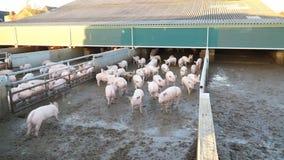 Πολλοί χοίροι στο αγρόκτημα απόθεμα βίντεο