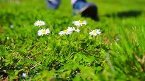 Ποδοπατά το λουλούδι διαβίωσης απόθεμα βίντεο