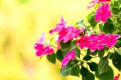 Πολυάσχολα λουλούδια της Lizzie Στοκ Φωτογραφία