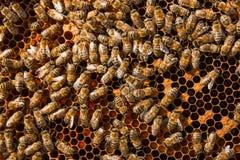 Πολυάσχολες μέλισσες μέσα στην κυψέλη με τα σφραγισμένα κύτταρα για τις νεολαίες τους Στοκ Φωτογραφία