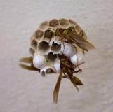 Πολυάσχολες μέλισσες στο Μεξικό Στοκ Φωτογραφία