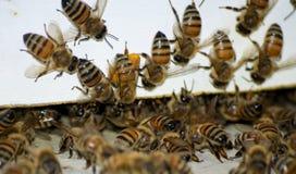 Πολυάσχολες μέλισσες Στοκ φωτογραφίες με δικαίωμα ελεύθερης χρήσης