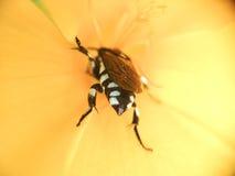 Πολυάσχολη μέλισσα στο κίτρινο λουλούδι στοκ εικόνα
