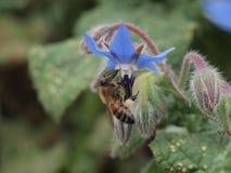 Πολυάσχολη μέλισσα Στοκ Εικόνες
