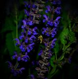 Πολυάσχολη μέλισσα Bumble Στοκ φωτογραφία με δικαίωμα ελεύθερης χρήσης
