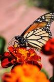 Πολυάσχολη πεταλούδα μοναρχών Marigold στο λουλούδι Στοκ εικόνες με δικαίωμα ελεύθερης χρήσης