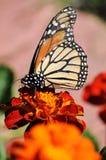 Πολυάσχολη πεταλούδα μοναρχών Marigold στο λουλούδι Στοκ Φωτογραφίες