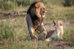 Πολυάσχολο ζευγάρωμα δύο λιονταριών στη χλόη Στοκ εικόνα με δικαίωμα ελεύθερης χρήσης