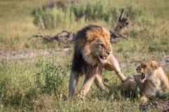 Πολυάσχολο ζευγάρωμα δύο λιονταριών στη χλόη Στοκ Εικόνες