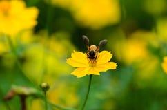 Πολυάσχολο νέκταρ κατανάλωσης μελισσών Στοκ Φωτογραφία