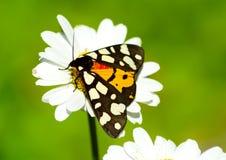 Πολυτελής πεταλούδα στο λουλούδι μαργαριτών στοκ εικόνες