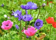 Πολυ που χρωματίζεται anemones Στοκ Εικόνες