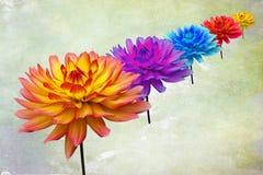 Πολυ χρωματισμένες ντάλιες Στοκ εικόνες με δικαίωμα ελεύθερης χρήσης