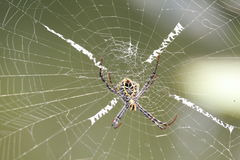 Πολυ χρωματισμένη αράχνη Argiope στον Ιστό Στοκ Εικόνες