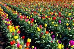 Πολυ χρωματισμένος τομέας των τουλιπών στοκ εικόνα