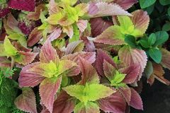 Πολυ χρωματισμένο Coleus ροζ και κιτρινοπράσινος Στοκ Εικόνες