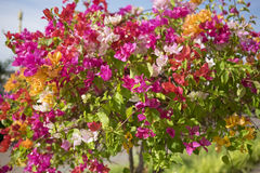 Πολυ χρώμα λουλουδιών Bougainvillea Στοκ φωτογραφία με δικαίωμα ελεύθερης χρήσης