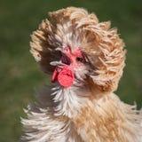 Πολωνικό κοτόπουλο Στοκ φωτογραφία με δικαίωμα ελεύθερης χρήσης