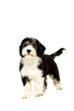 Πολωνικό τσοπανόσκυλο πεδινών που απομονώνεται σε ένα άσπρο υπόβαθρο στοκ φωτογραφία