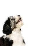 Πολωνικό τσοπανόσκυλο πεδινών που απομονώνεται σε ένα άσπρο υπόβαθρο στοκ εικόνες