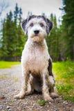 Πολωνικό τσοπανόσκυλο πεδινών στοκ εικόνα με δικαίωμα ελεύθερης χρήσης