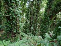 Πολύβλαστη ζούγκλα όπως τη βλάστηση Maui Χαβάη Στοκ φωτογραφίες με δικαίωμα ελεύθερης χρήσης