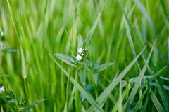 Πολύβλαστη πράσινη χλόη με τα άσπρα μικρά λουλούδια Στοκ εικόνα με δικαίωμα ελεύθερης χρήσης