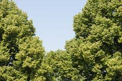 Πολύβλαστοι πράσινοι δέντρα και μπλε ουρανός Στοκ Εικόνες