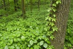 Πολύβλαστο midwest δάσος την άνοιξη στοκ φωτογραφίες με δικαίωμα ελεύθερης χρήσης