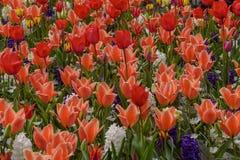 Πολύχρωμα λουλούδια και άνθος στον κήπο Keukenhof Υπόβαθρο εσωτερική φωτογραφία Στοκ Εικόνες