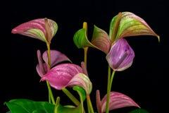 Πολύχρωμα λουλούδια φλαμίγκο Στοκ Εικόνες
