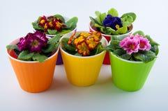 Πολύχρωμα primulas στα κίτρινα, πορτοκαλιά, πράσινα πλαστικά δοχεία Στοκ Εικόνες
