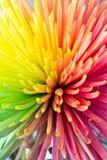 Πολύχρωμη κινηματογράφηση σε πρώτο πλάνο λουλουδιών crysanthemum Στοκ εικόνες με δικαίωμα ελεύθερης χρήσης