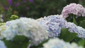 Πολύχρωμος θάμνος με την κινηματογράφηση σε πρώτο πλάνο λουλουδιών απόθεμα βίντεο