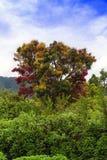 Πολύχρωμο δέντρο του νησιού Samosir. Στοκ Φωτογραφία