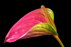 Πολύχρωμο λουλούδι φλαμίγκο Στοκ φωτογραφίες με δικαίωμα ελεύθερης χρήσης