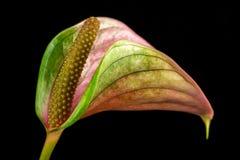 Πολύχρωμο λουλούδι φλαμίγκο Στοκ Φωτογραφίες