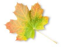 Πολύχρωμο φύλλο σφενδάμου φθινοπώρου Στοκ Εικόνες