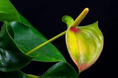 πολύχρωμο anthurium λουλούδι Στοκ Φωτογραφίες