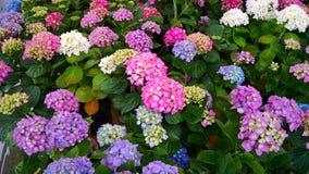 Πολύχρωμο Hydrangeas Στοκ εικόνες με δικαίωμα ελεύθερης χρήσης